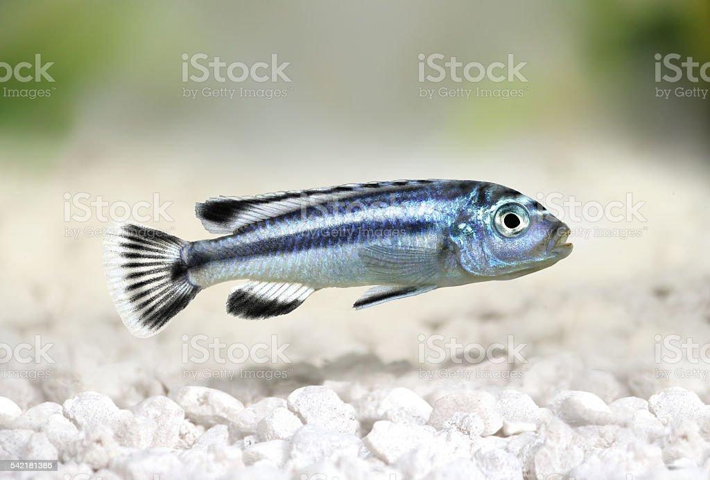 bluegray mbuna malawi cichlid Melanochromis johannii aquarium fish johanni stock photo
