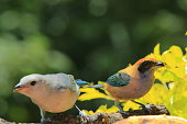 Blue-gray tanager and Burnished-buff tanager