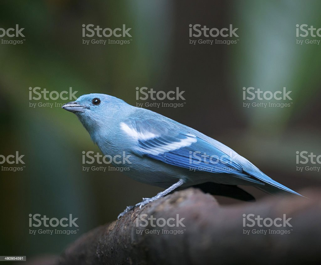 Blue-gray Tanager, Bischofstangare, Thraupis Episcopus royalty-free stock photo
