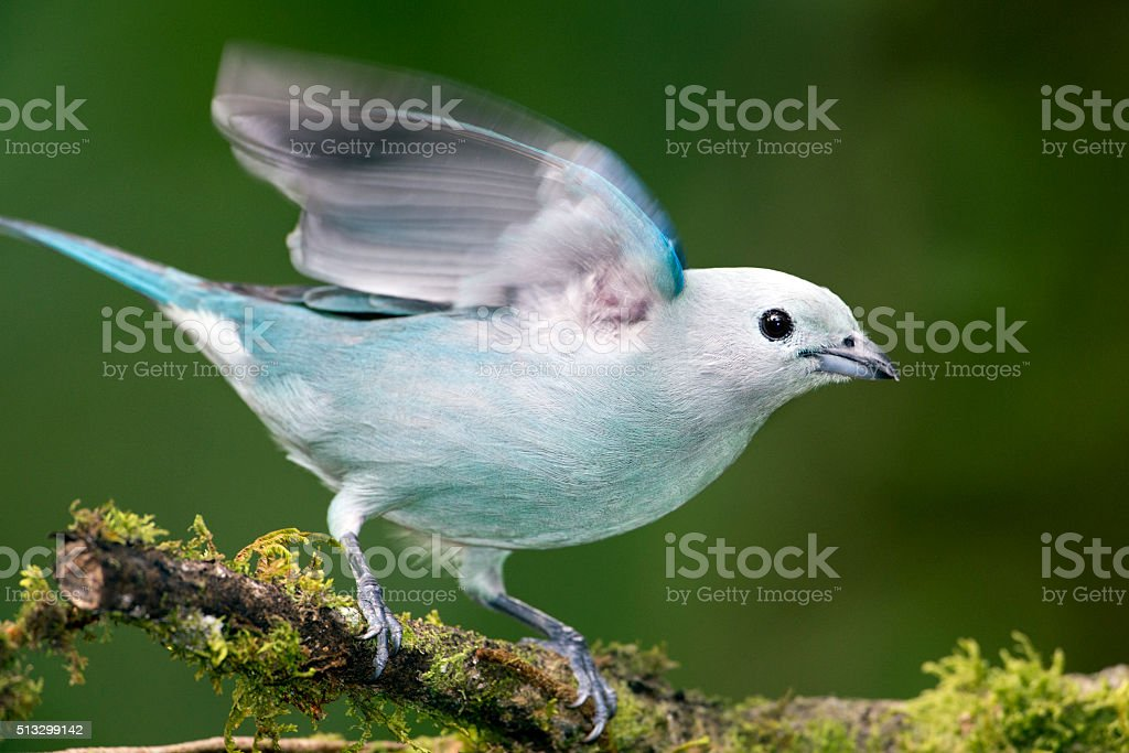 Blue-gray Tanager Flapping Wings stock photo