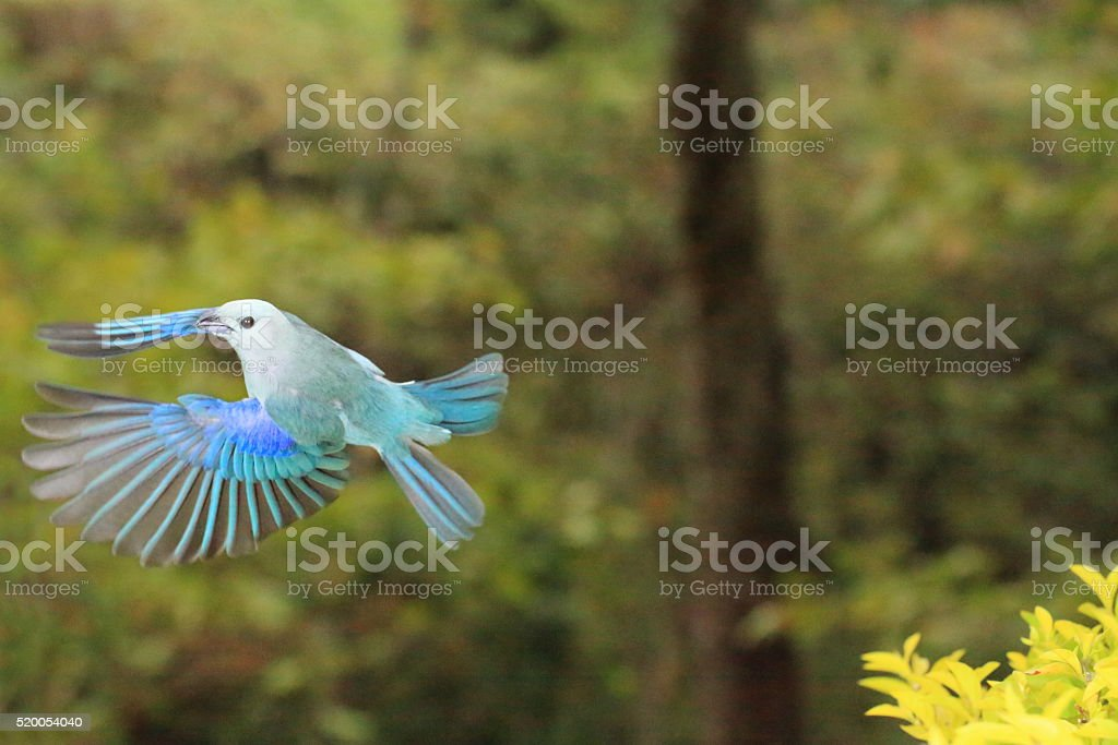 Blue-Gray Tanager Passing By stock photo