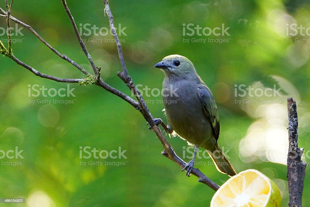Blue-gray tanager stock photo