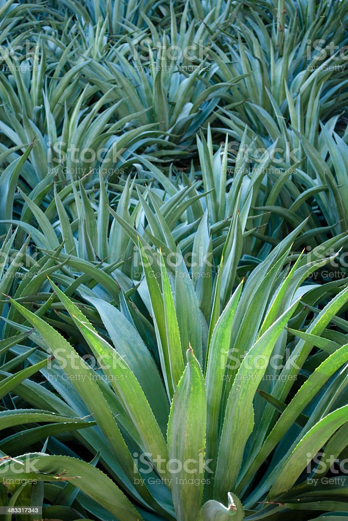 Blue-Green Agave stock photo