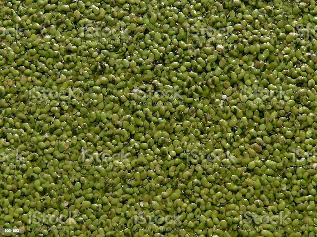 Blue-green algae royalty-free stock photo