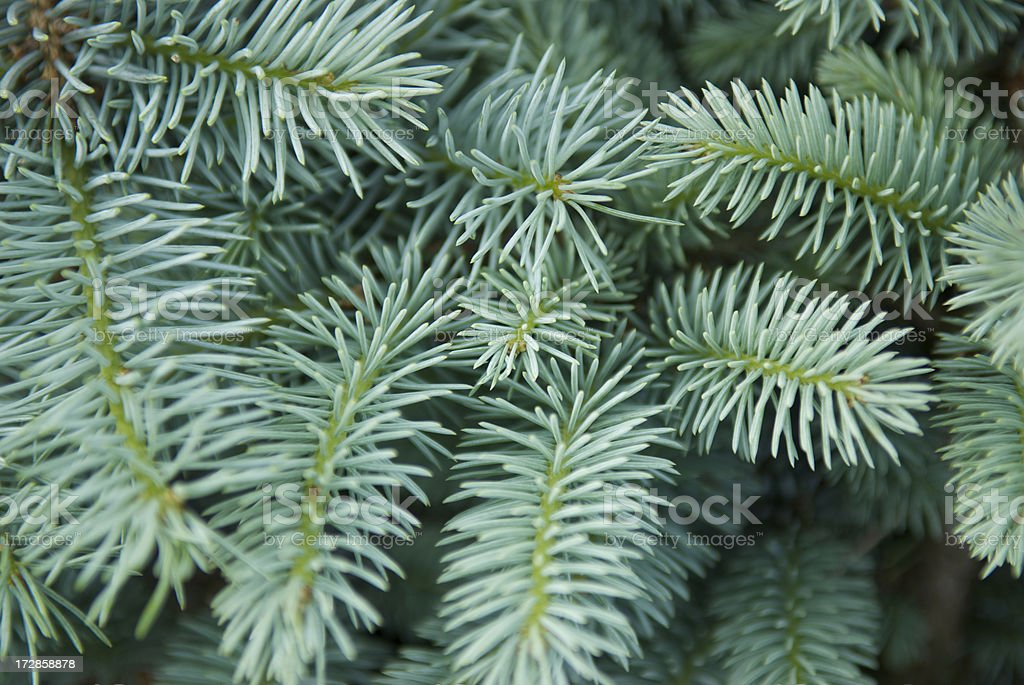 Blue-Green Conifer Tips royalty-free stock photo