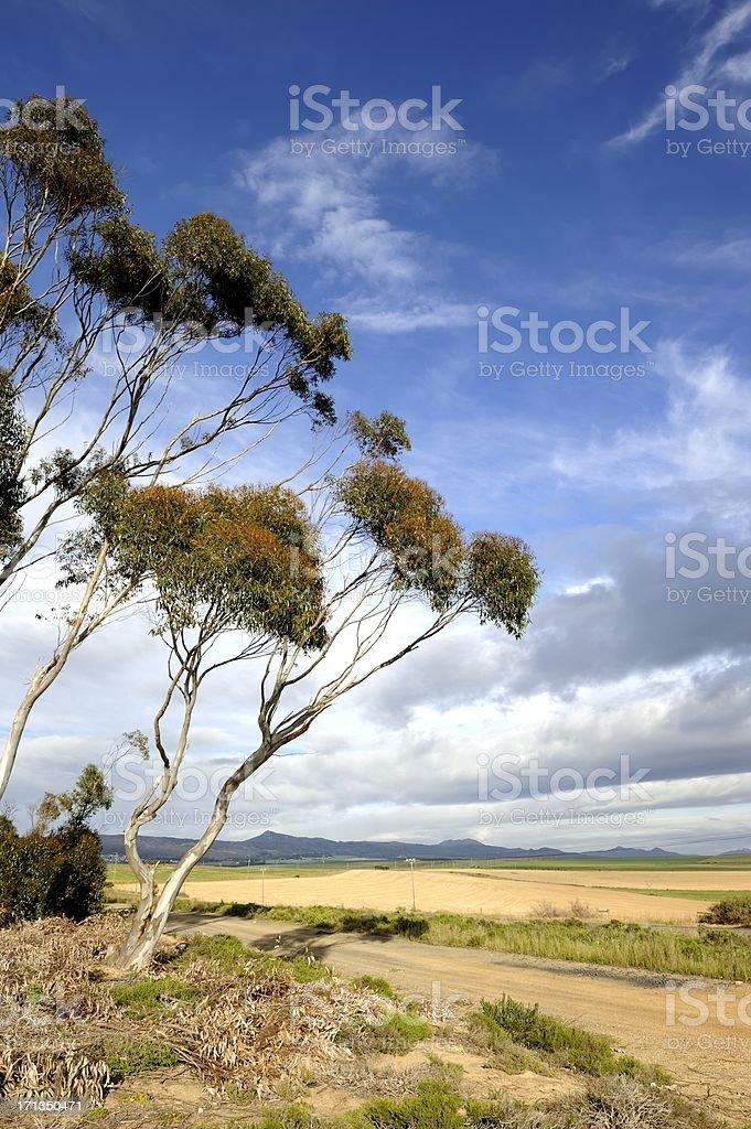 Bluegum trees against stormy Overberg sky stock photo
