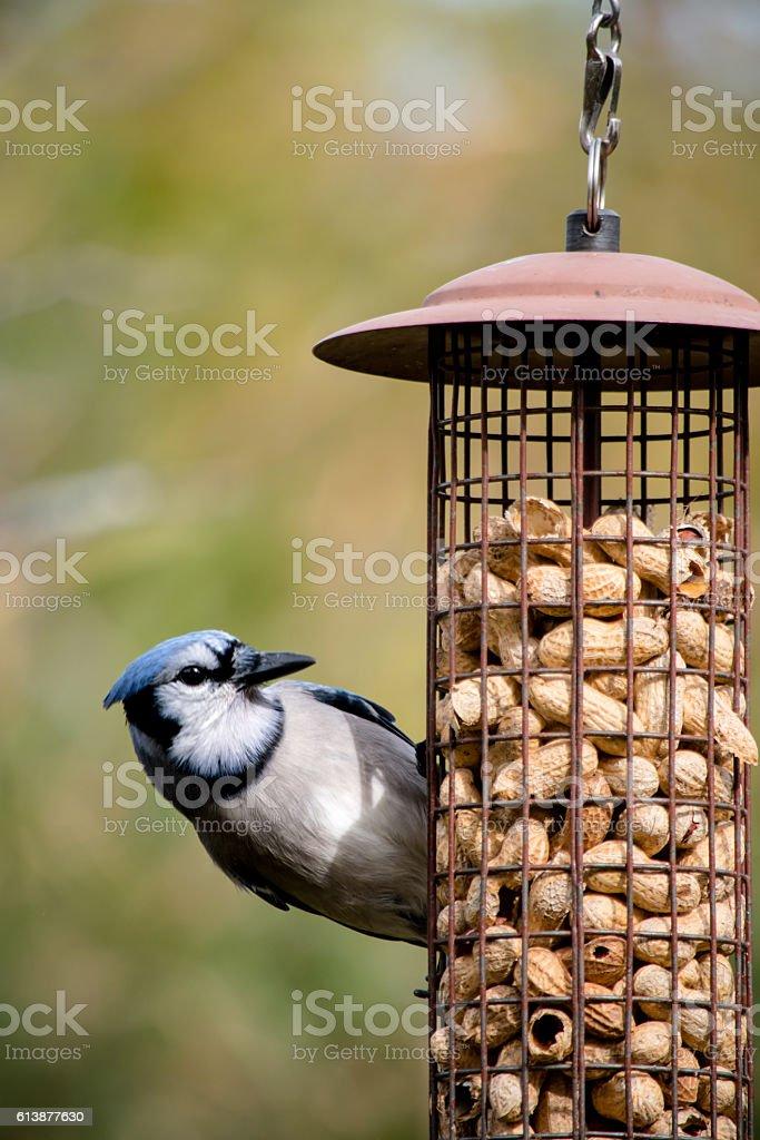BlueJay at feeder stock photo