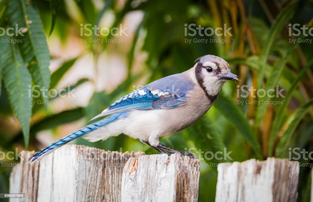 Bluejay - Cyanocitta cristata - Sitting On The Fence stock photo