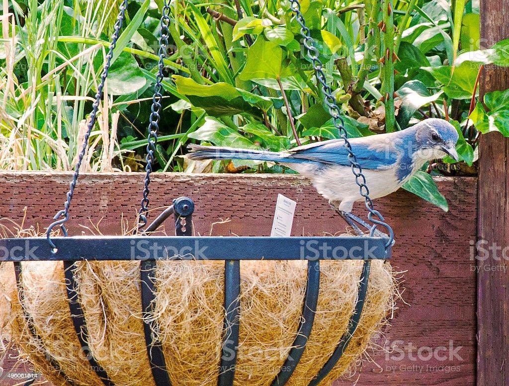 BlueJay, Native of North America stock photo