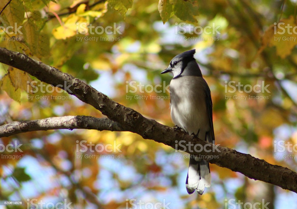 Bluejay on Limb stock photo