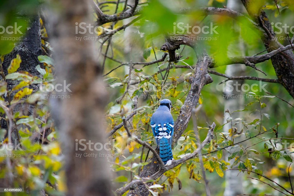 Bluejay perched stock photo