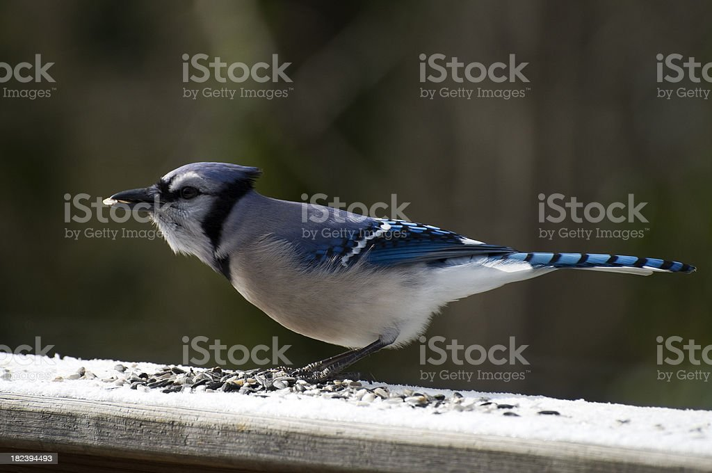Bluejay (Cyanocitta cristata) stock photo