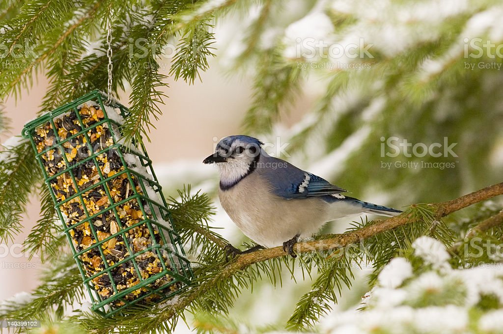 Bluejay with suet feeder stock photo