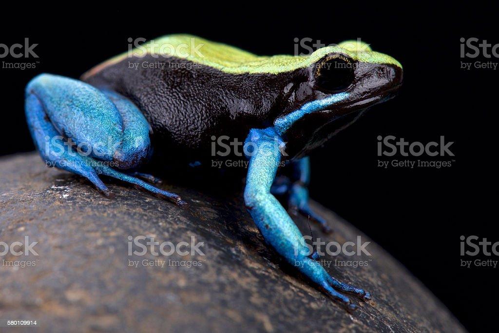 Blue-legged Mantella (Mantella expectata) stock photo