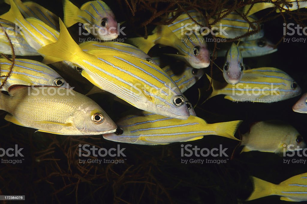 Bluelined Snappers in Black Coral Tree stock photo