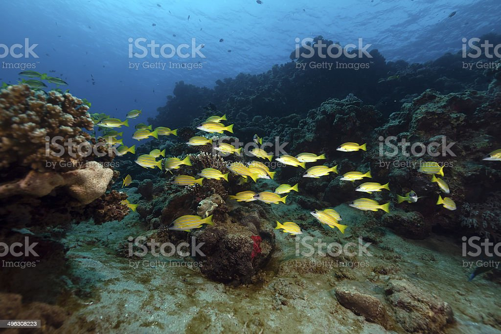Bluelined snappers in the Red Sea. stock photo