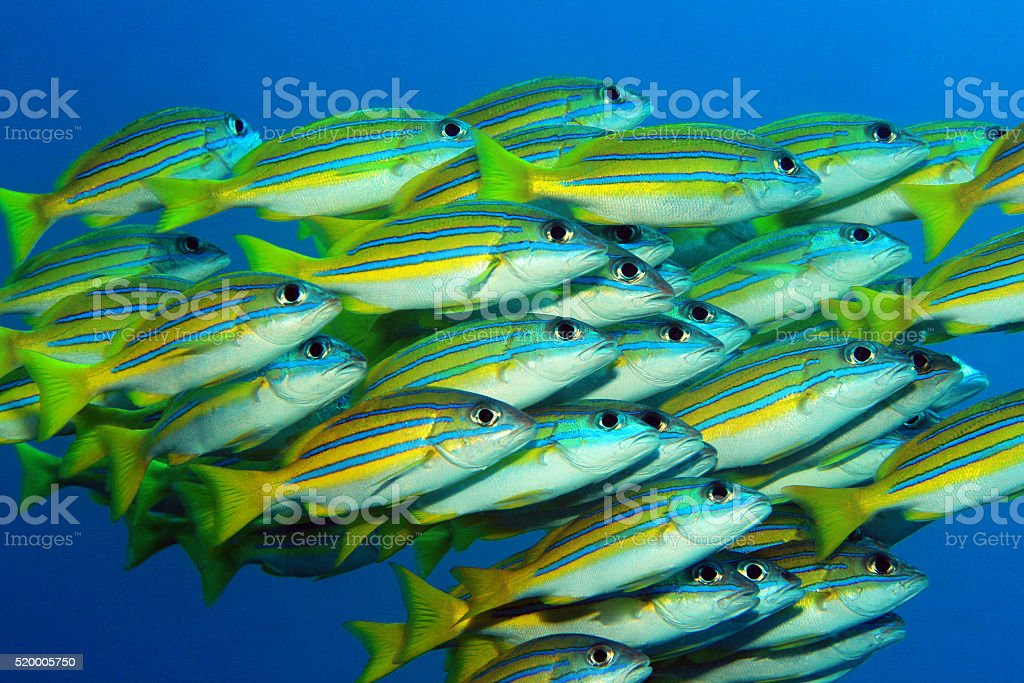 Blue-lined Snappers stock photo