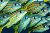 Bluelined Snappers