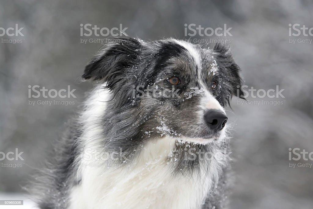 Bluemerle border collie stock photo