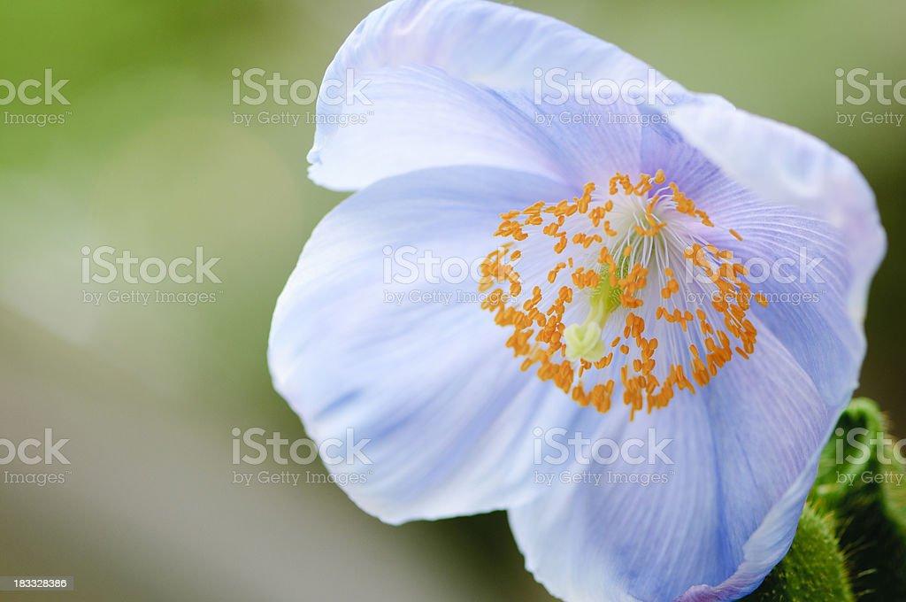 Blue-poppy (Meconopsis) stock photo