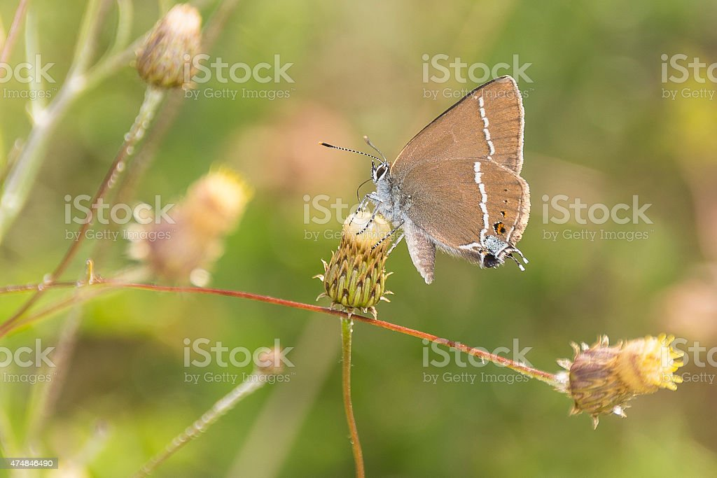 Blue-spot Hairstreak Butterfly on knapweed head royalty-free stock photo