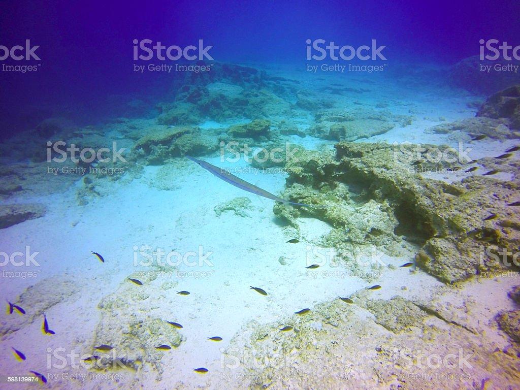 Bluespotted cornetfish stock photo