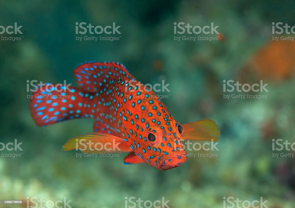 Blue-Spotted Grouper, coral grooper stock photo