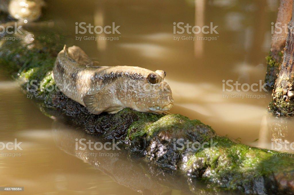Blue-spotted mudskipper stock photo