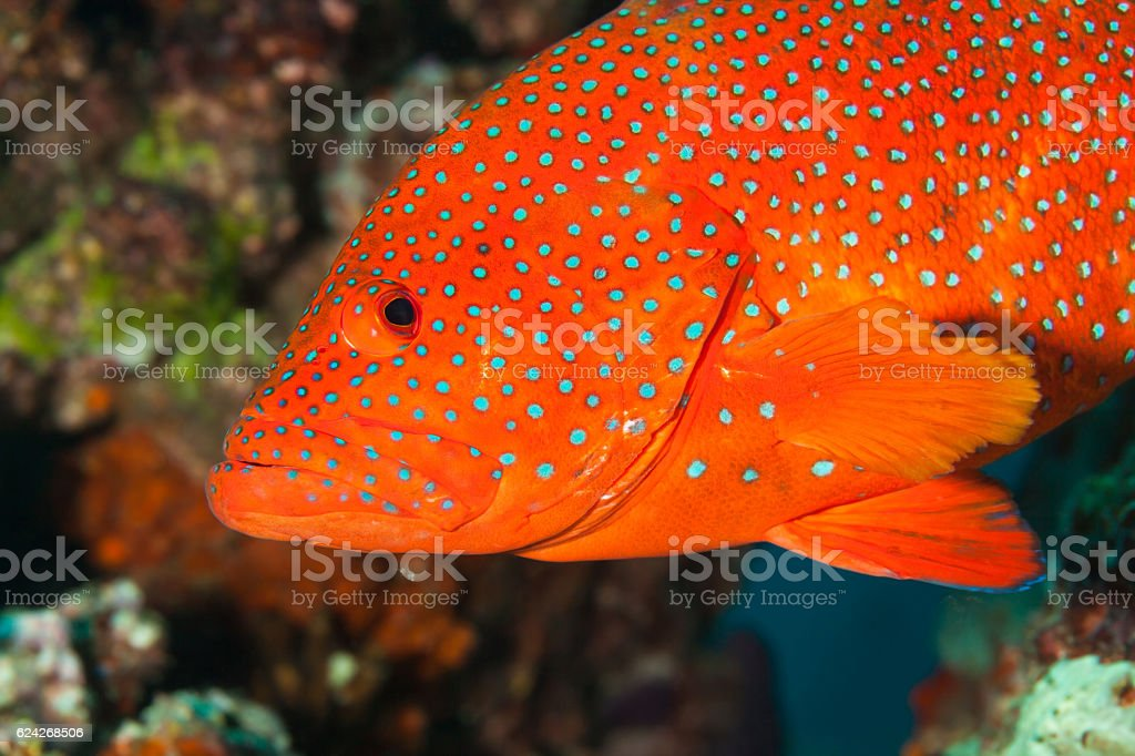 Bluespotted Red Beauty, Coral Hind Cephalopholis miniata, Praslin, Seychelles. stock photo