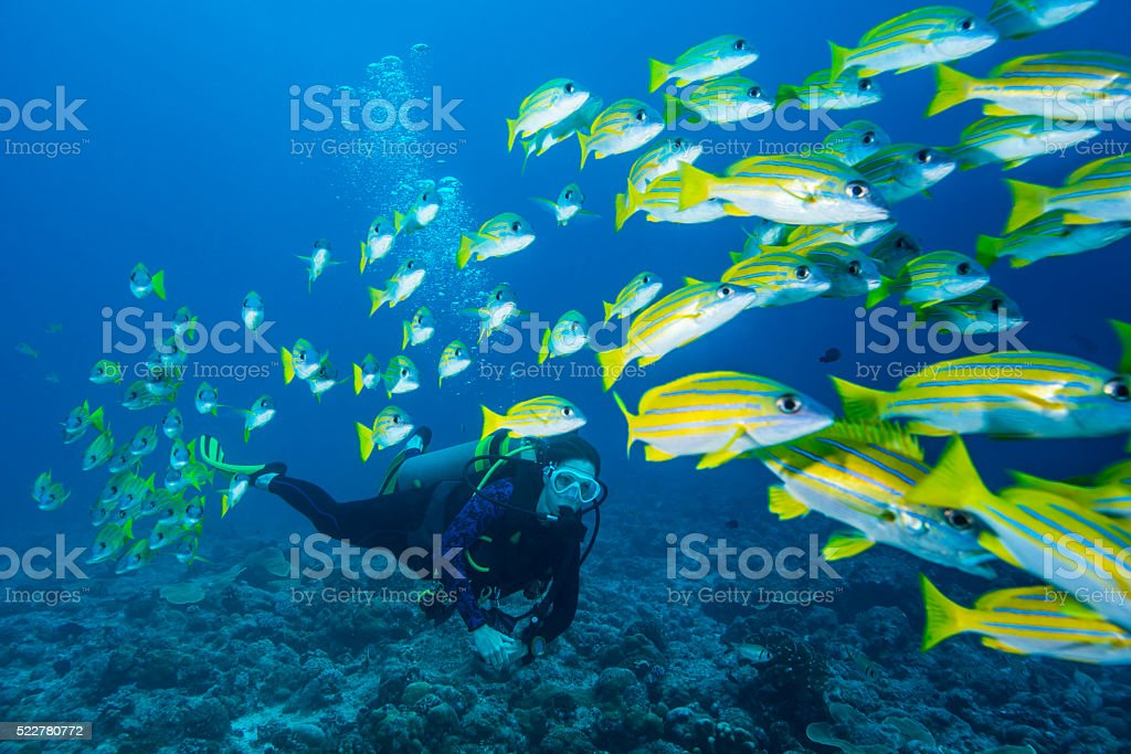 Bluestripe Snapper and diver - Palau stock photo
