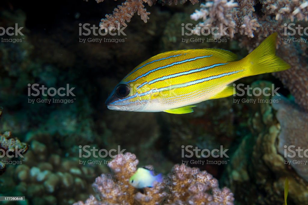 Blue-striped snapper (lutjanus kasmira) stock photo