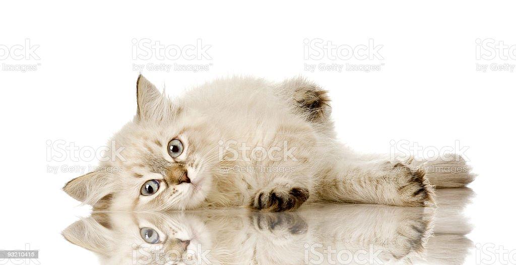 Blue-tabby-point Birman kitten stock photo