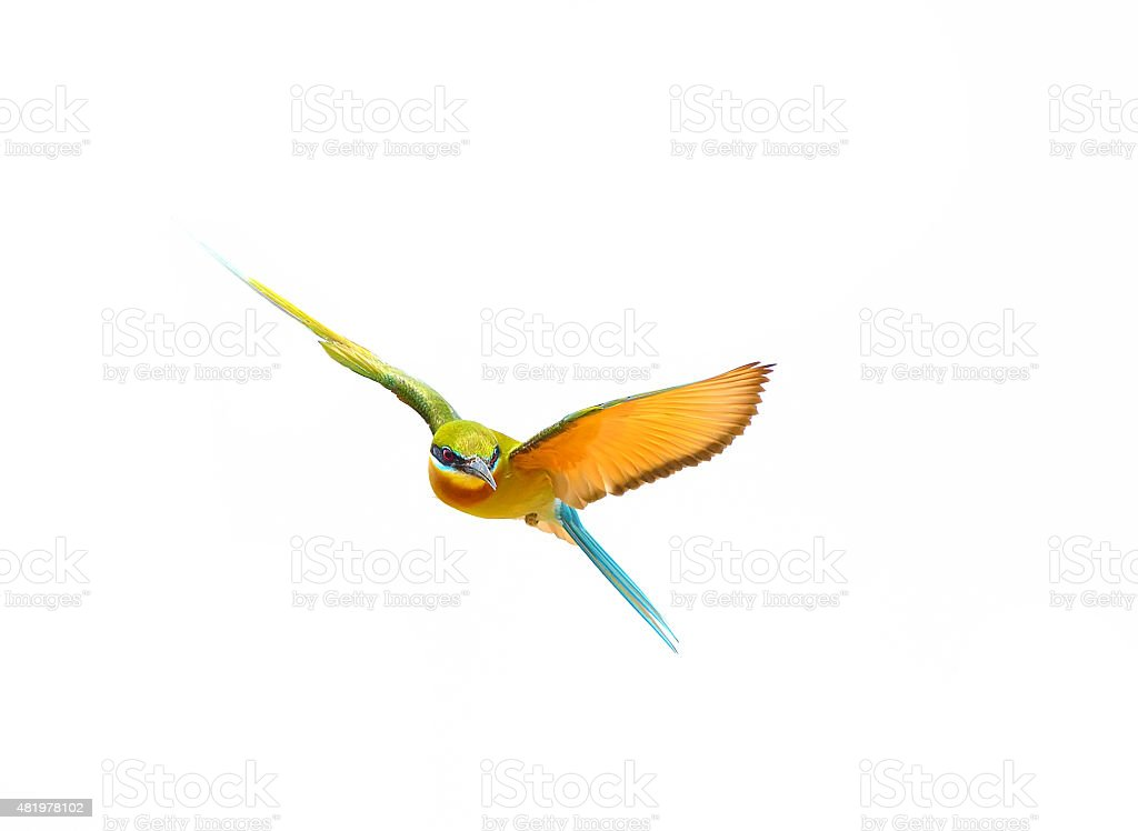 Blue-tailed Bee-eater in flight isolated on white background stock photo