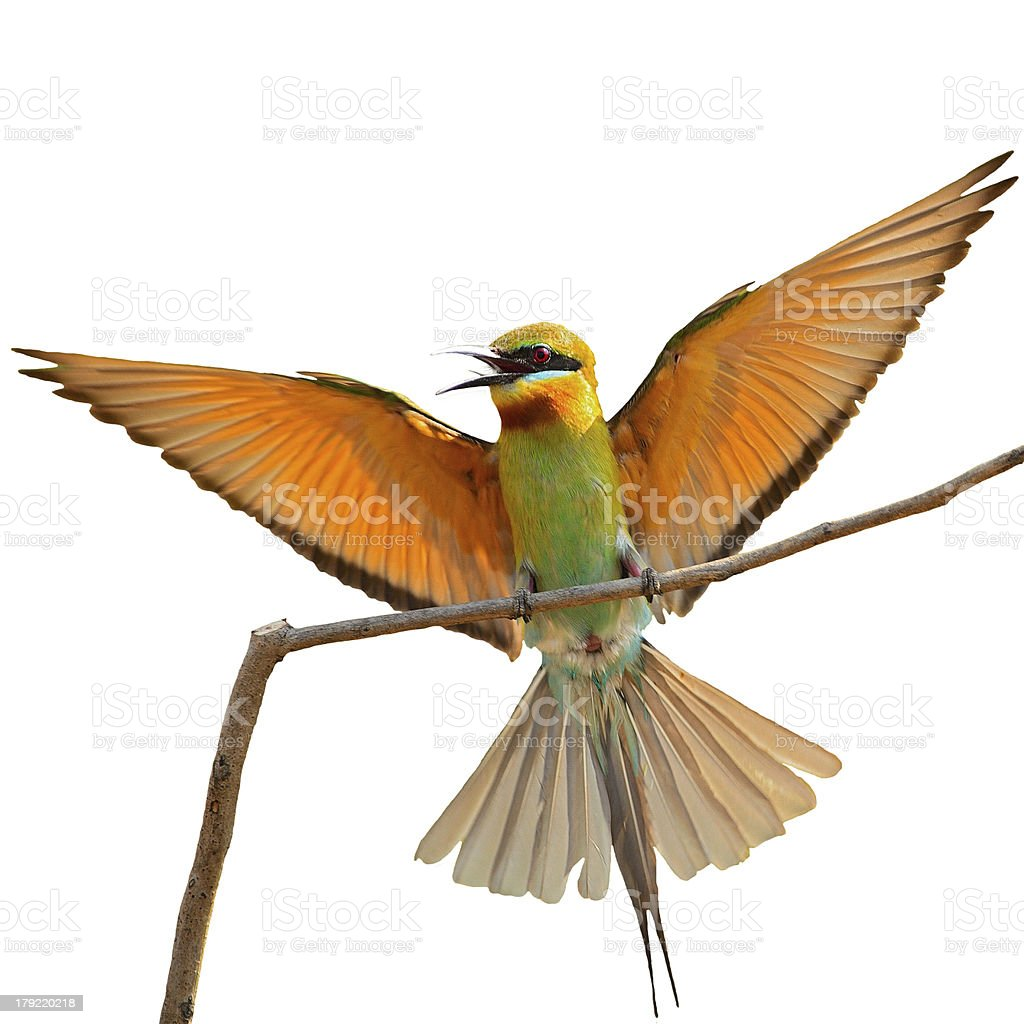 Blue-tailed Bee-eater royalty-free stock photo