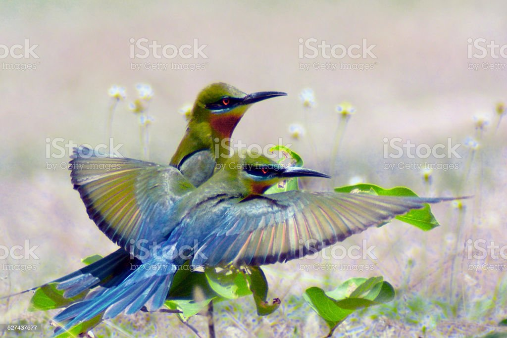 Blue-tailed Bee-eater (Couple) royalty-free stock photo