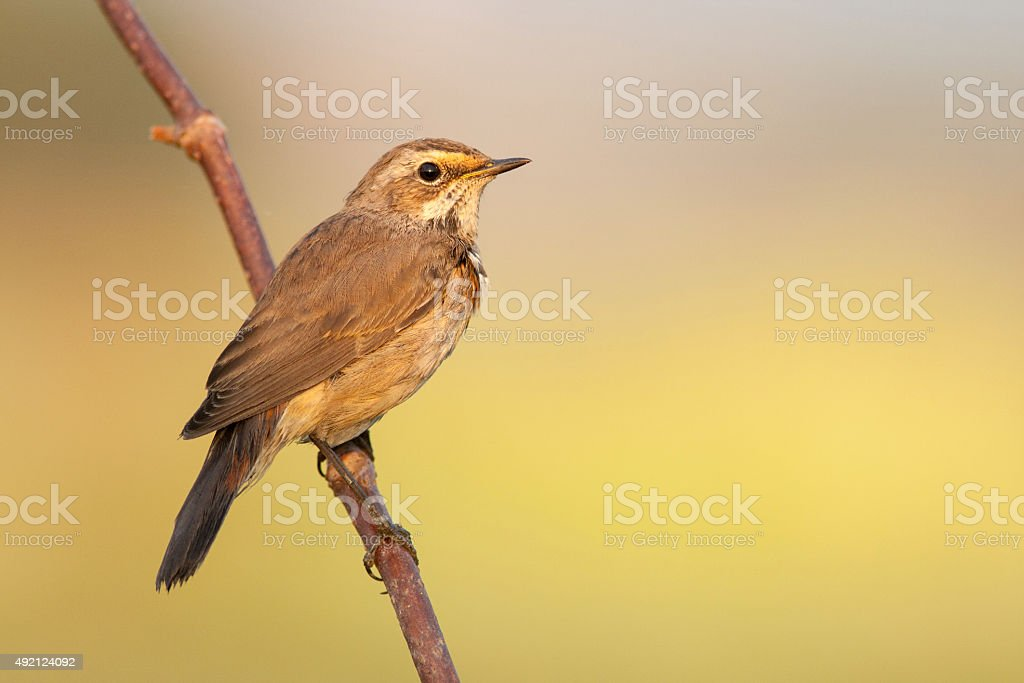 Bluethroat outdoors sits on a cane stock photo