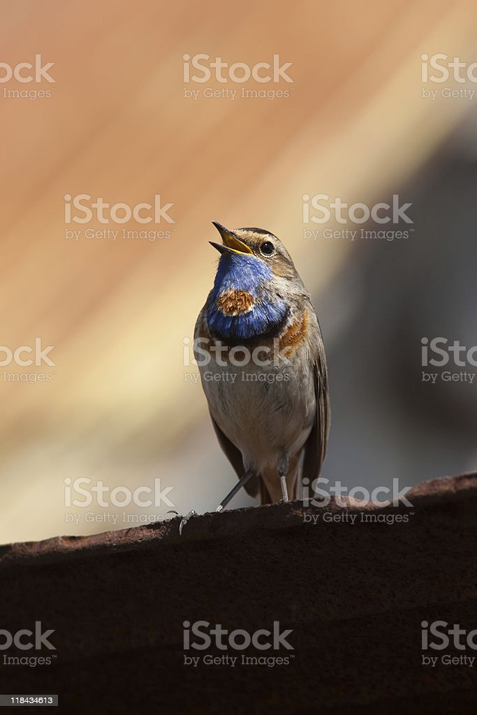Bluethroat (Luscinia svecica) royalty-free stock photo