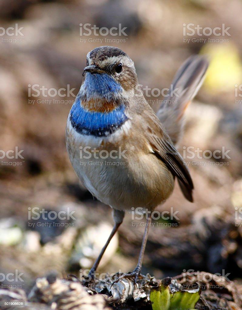 Bluethroat (Luscinia svecica) stock photo