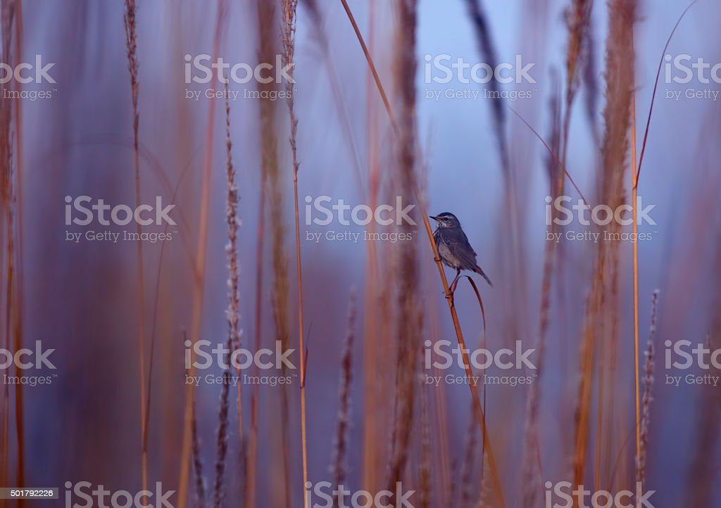 Bluethroat Luscinia svecica stock photo