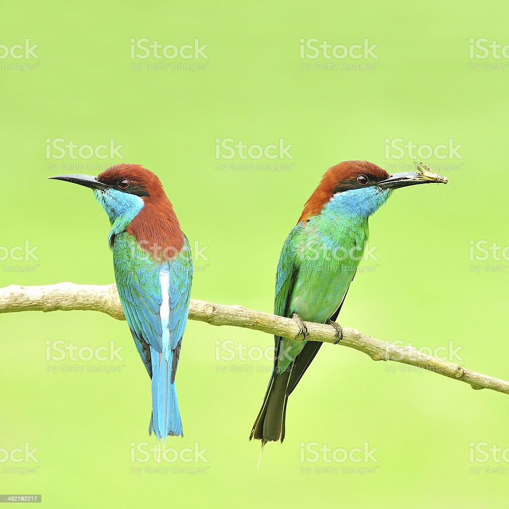 Blue-Throated Bee Eater bird royalty-free stock photo