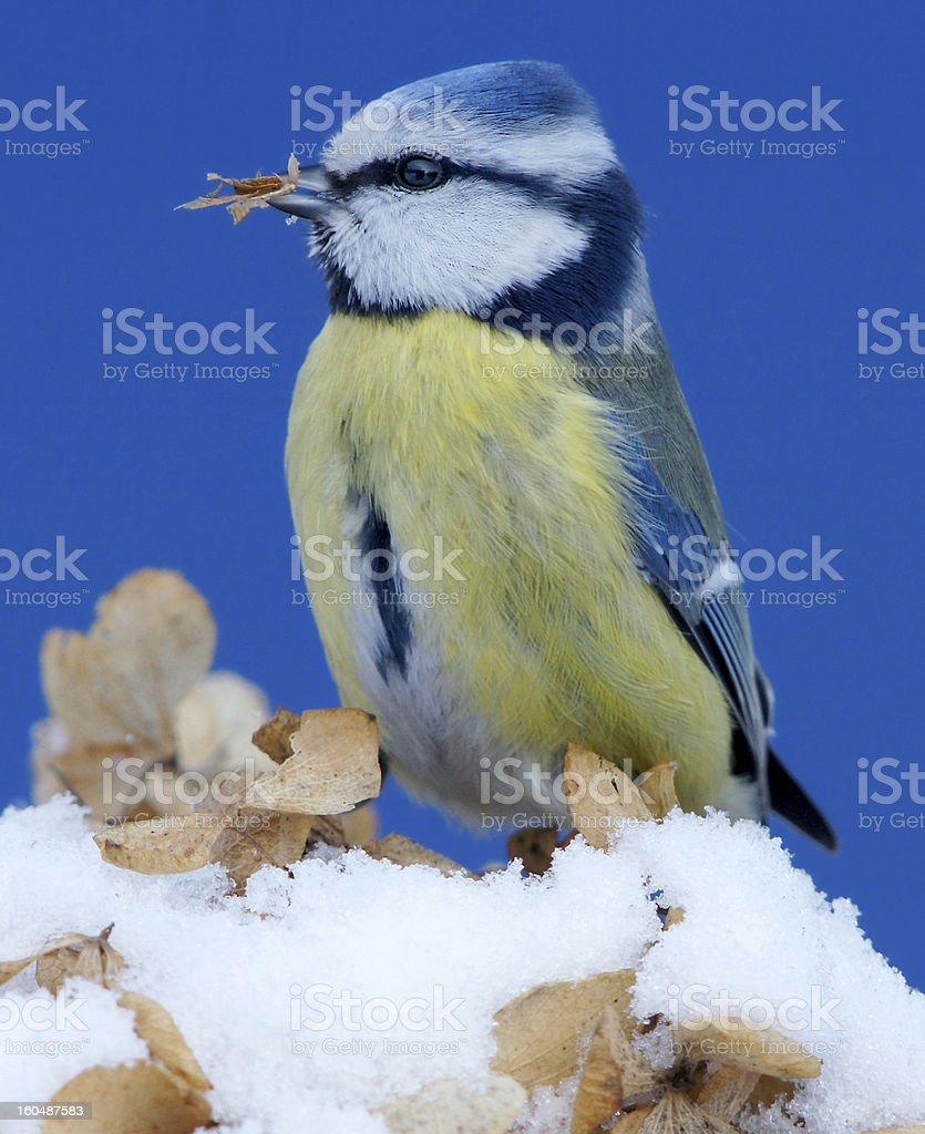 Bluetit at the feed royalty-free stock photo