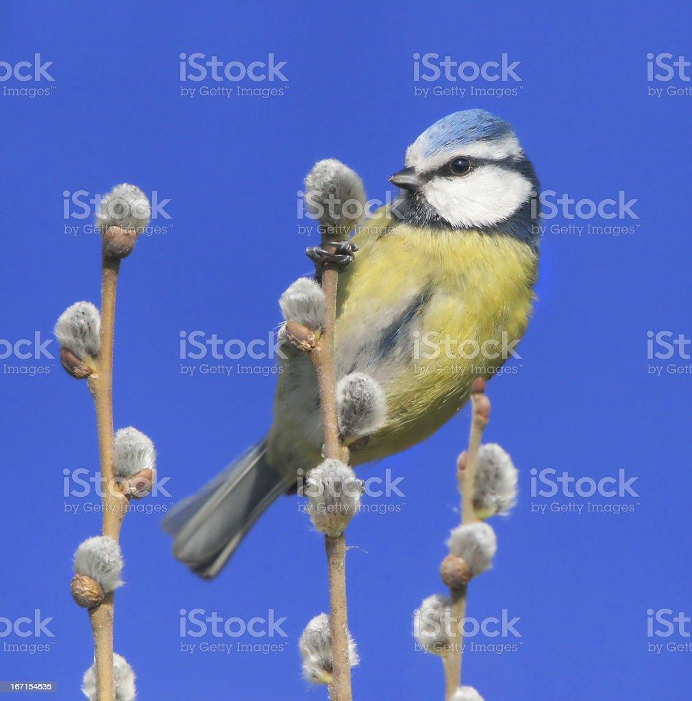 Bluetit in springtime royalty-free stock photo