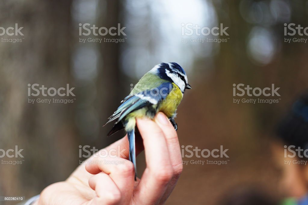 Bluetit in the hand royalty-free stock photo