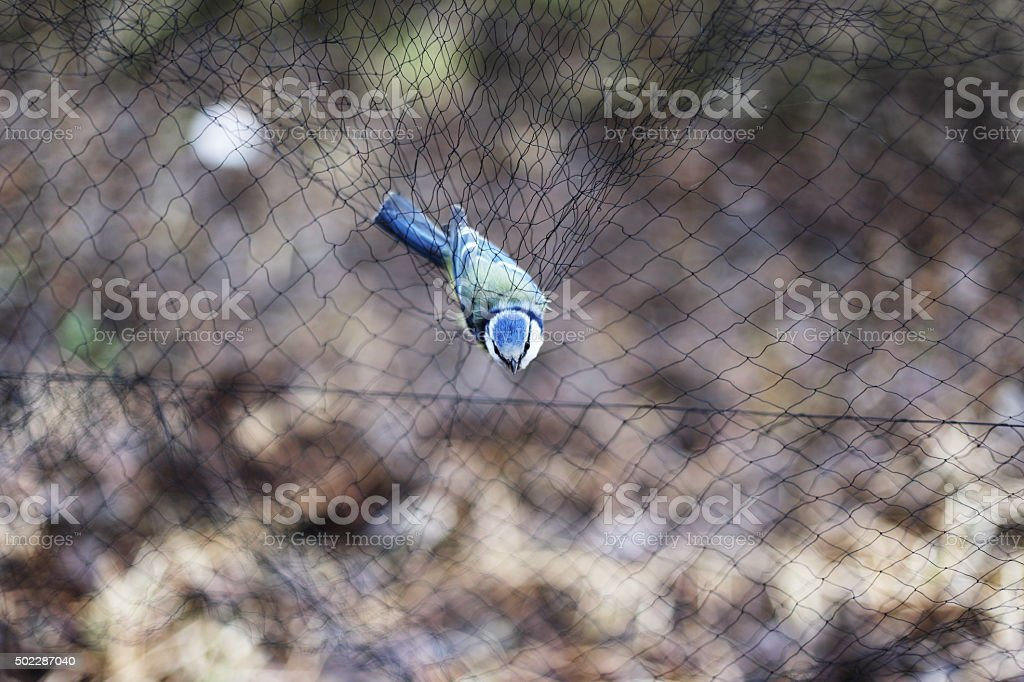 Bluetit in the net. royalty-free stock photo