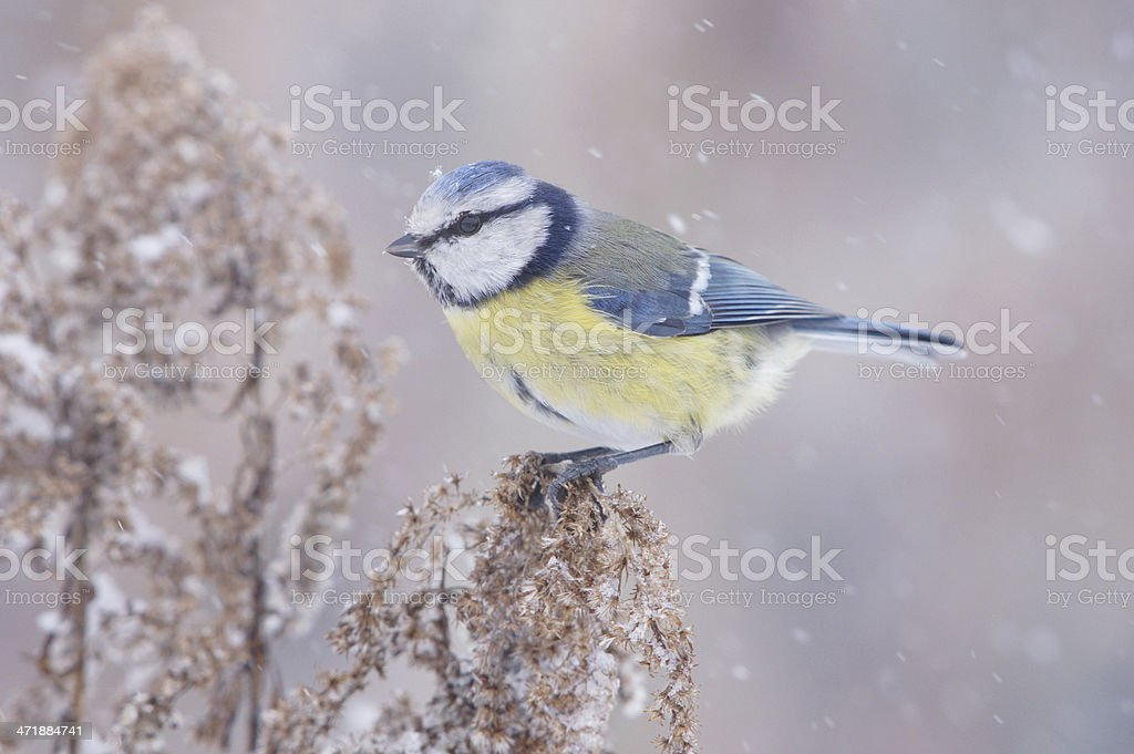 Bluetit in wintertime royalty-free stock photo