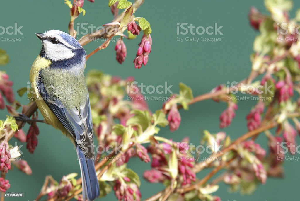Bluetit on a blood currant branch royalty-free stock photo