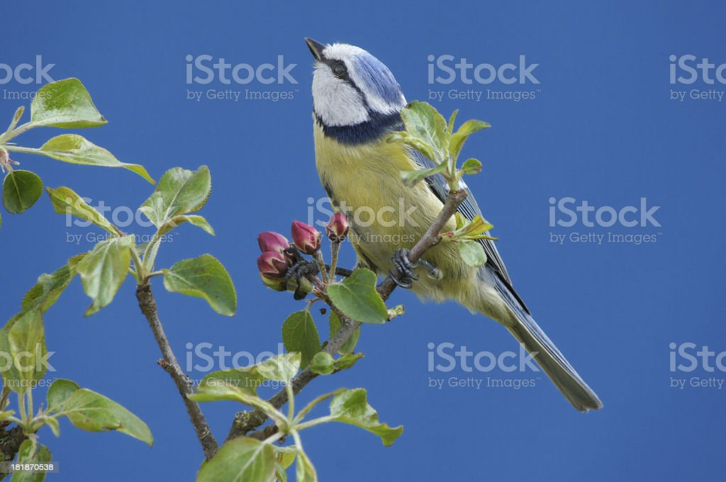 Bluetit on a blossoming apple twig royalty-free stock photo