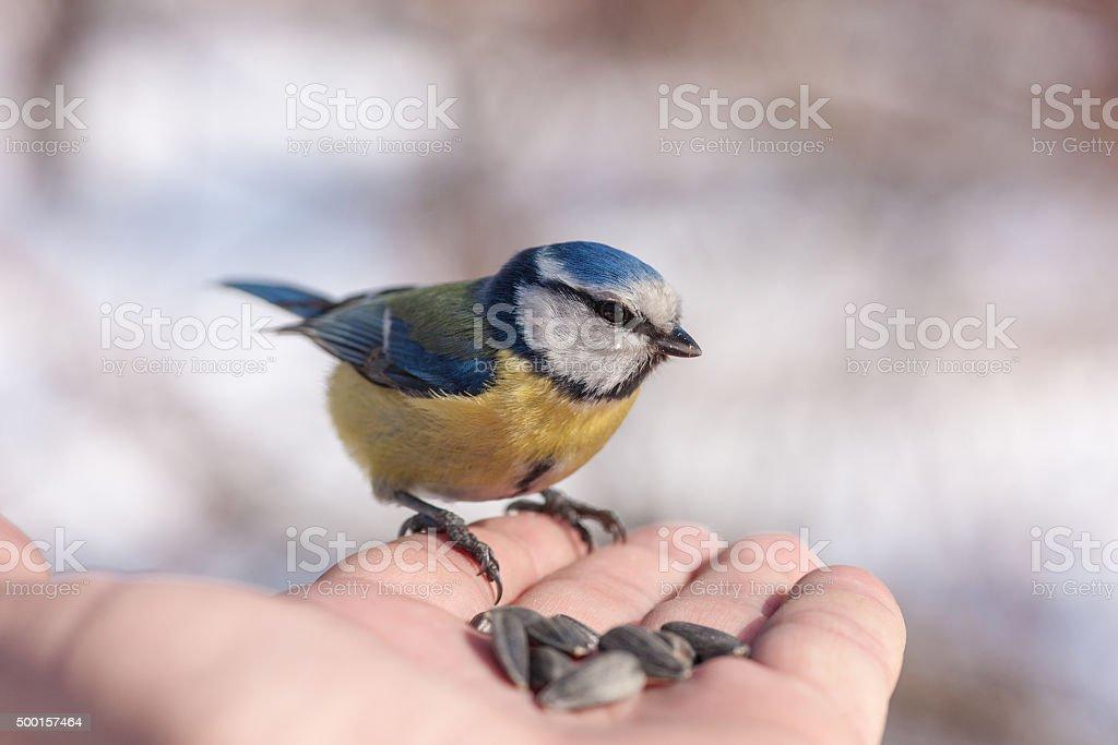 bluetit on a hand stock photo