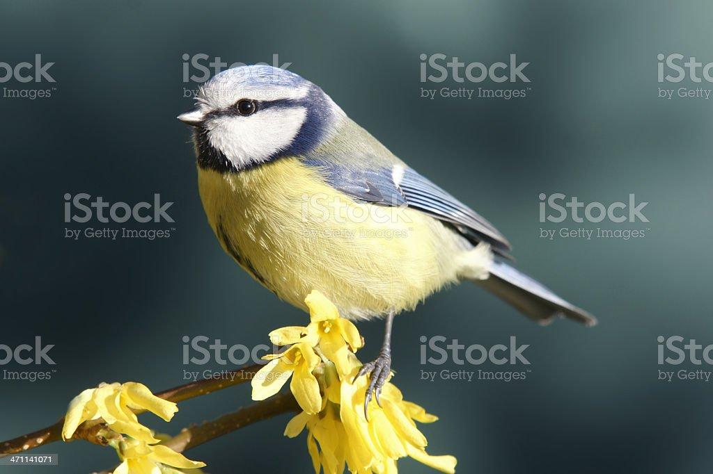 Bluetit on Forsythia stock photo