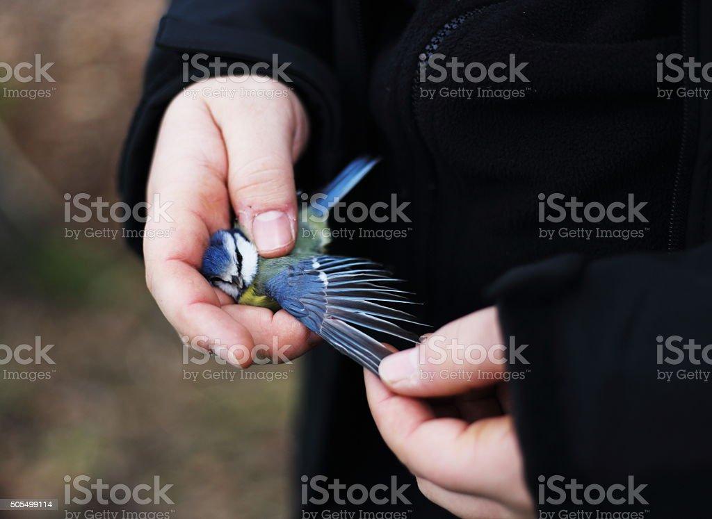 Bluetit royalty-free stock photo